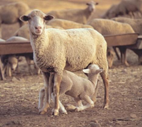 Imagen Composición nutricional de la leche de oveja
